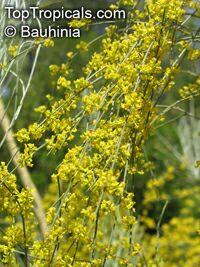 Retama sphaerocarpa, Lygos sphaerocarpa , Retama  Click to see full-size image