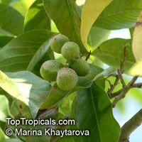 Magnolia champaca, Michelia champaca, Joy Perfume Tree, Huang Yu Lan, SafaClick to see full-size image