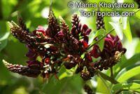 Callerya atropurpurea, Millettia atropurpurea , Tulang Daing, Purple Milletia  Click to see full-size image