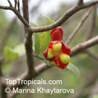Ochna sp., Carnival bush  Click to see full-size image