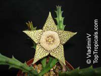 Orbea variegata, Stapelia variegata, Starfish Flower, Star Flower, Toad CactusClick to see full-size image