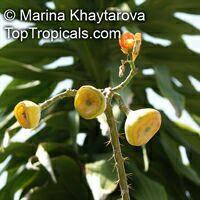 Leuenbergeria bleo, Pereskia bleo, Pereskia corrugata, Rose cactus, Wax rose, Perescia  Click to see full-size image