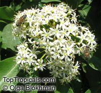 Pittosporum rhombifolium, Diamond Pittosporum   Click to see full-size image