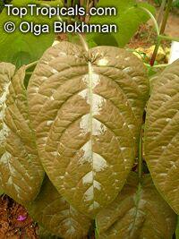 Pseuderanthemum alatum, Chocolate Plant  Click to see full-size image