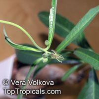 Raphionacme longifolia, Raphionacme   Click to see full-size image