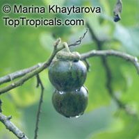 Solanum macranthum, Solanum wrightii, Giant Potato Tree  Click to see full-size image