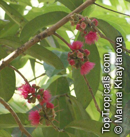 Macopa Tree