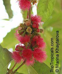 Syzygium malaccense, Eugenia malaccensis, Jambos malaccensis, Malay Apple, Macopa, Otaheite Apple, Pomarosa, Manzana  Click to see full-size image