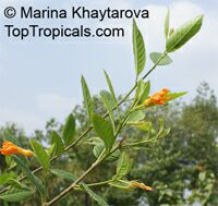 Turnera aurantiaca , Orange Turnera  Click to see full-size image