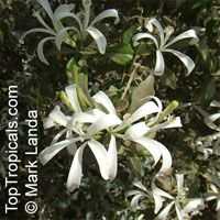 Turraea obtusifolia, Star Bush, South African Honeysuckle  Click to see full-size image