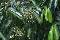 Vatica rassak , Lan Tan, Mascal Wood, Resak   Click to see full-size image