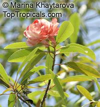 Unknown 47, False Rose Tree  Click to see full-size image