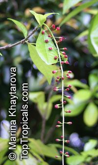 Barringtonia acutangula , Freshwater Mangrove, Indian Oak, Indian Putat   Click to see full-size image