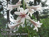 Cardiocrinum giganteum, Lilium giganteum, Giant Lily   Click to see full-size image
