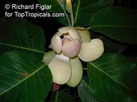 Magnolia delavayi, Chinese Evergreen Magnolia   Click to see full-size image