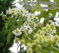 Montanoa hibiscifolia , Anzac Flower, Montanoa, Tree Daisy   Click to see full-size image
