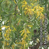 Acacia auriculiformis, Darwin Black Wattle, Ear Pod Wattle  Click to see full-size image