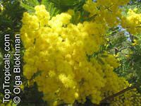 Acacia dealbata - seeds