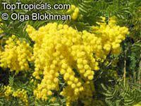 Acacia decurrens, Black Wattle
