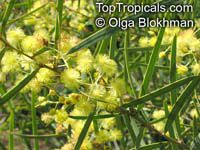 Acacia iteaphylla , Willow-leaf Wattle