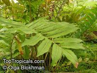 Acrostichum aureum, Piai Raya, Golden Leather Fern, Mangrove Fern   Click to see full-size image