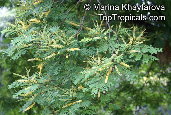 Adenanthera pavonina, Adenanthera gersenii, Adenanthera polita