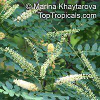 Adenanthera pavonina - seedsClick to see full-size image