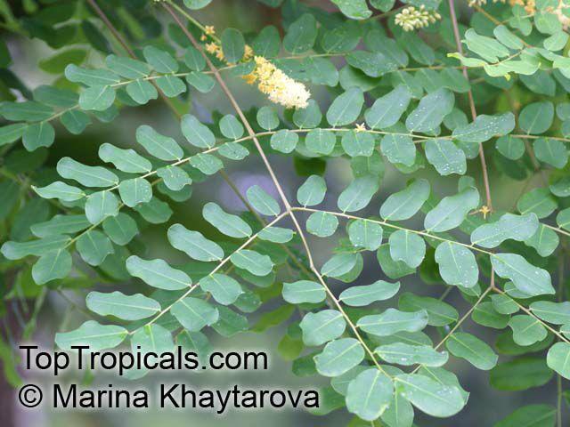 Adenanthera Pavonina Adenanthera Gersenii Adenanthera