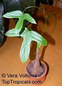 Adenia heterophylla, Modecca heterophylla , AdeniaClick to see full-size image