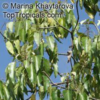 Aleurites moluccana, Aleurites triloba, Croton moluccanus, Candlenut oil tree, Candleberry, Varnish tree, Indian or Belgaum Walnut, Kemiri, Kukui nut tree  Click to see full-size image