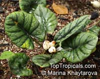 Alocasia reginae, Shell AlocasiaClick to see full-size image