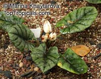 Alocasia reginae, Shell Alocasia  Click to see full-size image
