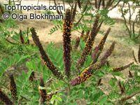 Amorpha fruticosa , Desert False IndigoClick to see full-size image