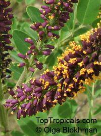 Amorpha fruticosa , Desert False Indigo  Click to see full-size image