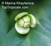 Anaxagorea javanica, Champun, Twin-seed, Bunga Pompun, Kekapur   Click to see full-size image