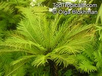 Blechnum gibbum, Dwarf Tree Fern, Silver Lady Fern 