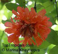 Brownea crawfordii, Rose of Venezuela  Click to see full-size image