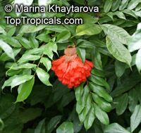 Brownea ariza, Hermesias ariza , Scarlet Flame Bean  Click to see full-size image