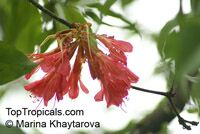 Brownea coccinea subsp. capitella, Brownea capitella, Rose of Venezuela, Scarlet Flame Bean  Click to see full-size image