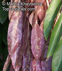 Brownea grandiceps, Rose of Venezuela, Scarlet Flame Bean  Click to see full-size image
