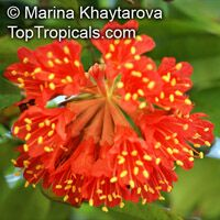 Brownea grandiceps - Scarlet Flame Bean