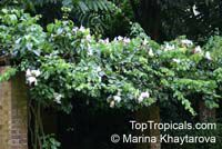 Camoensia scandens, Camoensia maxima , Climbing Camoensia  Click to see full-size image