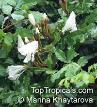 Camoensia scandens, Camoensia maxima , Climbing Camoensia