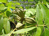 Carya illinoensis, Carya pecan, Pecan  Click to see full-size image