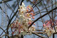 Cassia bakeriana, Dwarf Apple Blossom Tree, Pink Cassia, Pink Shower Cassia, Wishing-tree  Click to see full-size image