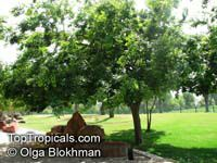 Celtis sp., Bunge's Hackberry  Click to see full-size image