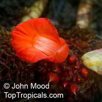 Cheilocostus globosus, CheilocostusClick to see full-size image