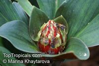 Costus sp., Spiral Ginger