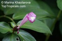 Costus tappenbeckianus , Spiral Ginger  Click to see full-size image