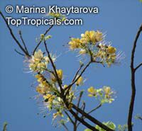 Crateva adansonii, Garlic Pear Tree, Three-leaf Caper, Obtuse Leaf CratevaClick to see full-size image